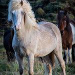 Icelandic-Horse-07102012_15A7247