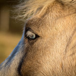 Icelandic-Horse-07102012_15A7315