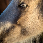 Icelandic-Horse-07102012_15A7355