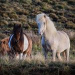 Icelandic-Horses-07102012_15A7230