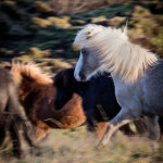 Icelandic-Horses-07102012_15A7282