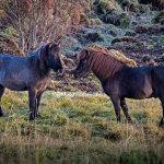 Icelandic-horses-07102012_15A7220